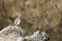Laughing Dove On Rock.