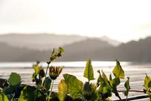 Green Dandelion Leaves In The ...
