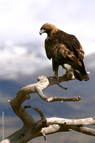 Adult male Golden Eagle on a branch early in the day in winter, Aquila chrysaeto Wallpaper Mural