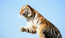 Low Angle View Of Tiger Jumping Against Clear Sky