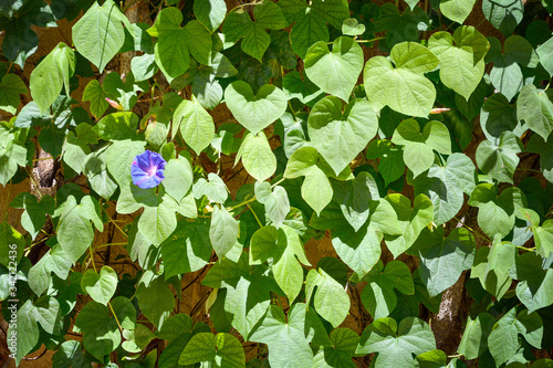 Photo Flower of the plant commonly known as morning glory (Ipomoea purpurea)