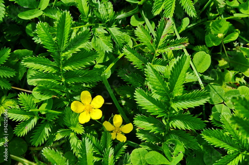 Yellow flowers of Potentilla reptans plant blooming in spring. Tablou Canvas
