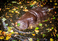 High Angle View Of Pygmy Hippo In The Water
