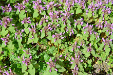 Thickets Of Purple Nettle (red Nettle) (Lamium Purpureum L.). Background