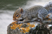 Young Gray Squirrel On Retaining Wall