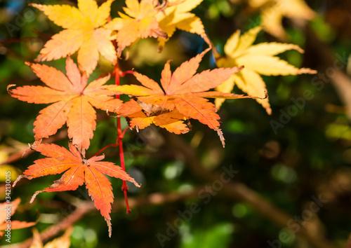 Autumn Acer Wallpaper Mural