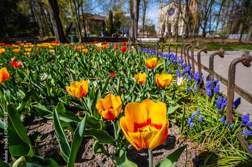 Fototapeta tulipany w parku, wiosna, małopolska, krzeszowice obraz