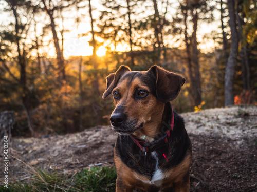 Fototapeta pies, zachód słońca, las, piesek obraz
