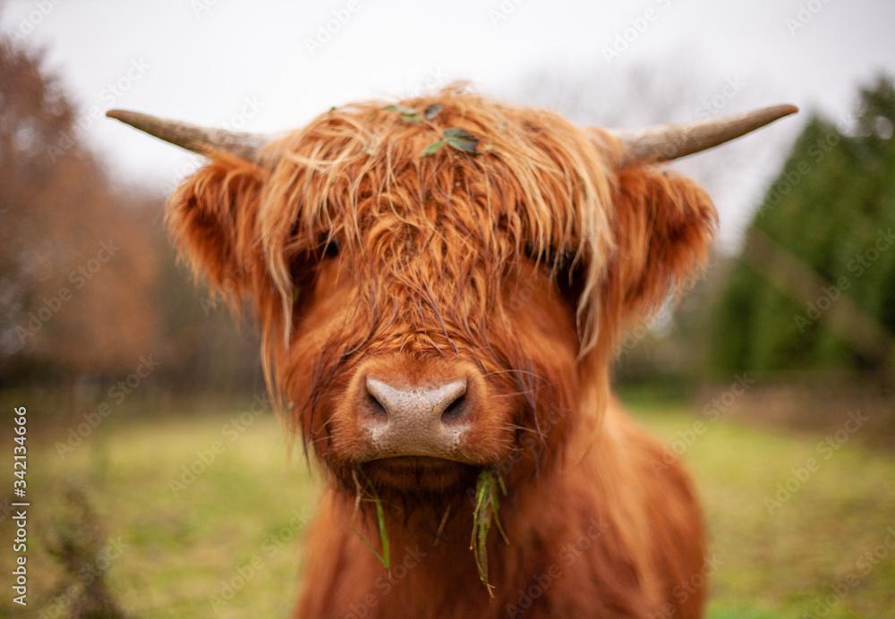 Fototapeta Highland cow eating some grass