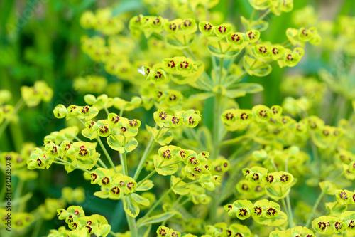 Photo flowers of Ascot Rainbow Euphorbia
