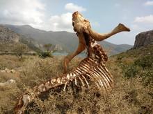 Decomposing Carcass On Field
