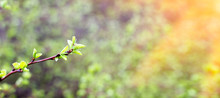 Young Shoots Of A Green Tree, ...