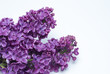 purple lilac indoors on a white background