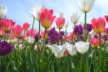 Tulips In Garden Colored Pink,...