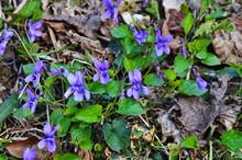 Violet Forest (Viola Reichenbachiana) Closeup. Viola Reichenbachiana, The Early Dog-violet.