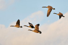 Low Angle View Of Canada Geese Flying Against Sky