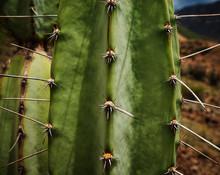 Cactus Close Up, Colca Canyon, Peru, South America