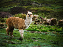 Alpaca In The Mountains In Chaullacocha Village, Andes Mountains, Peru, South America