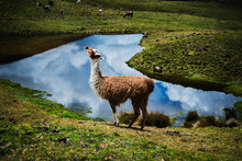 Alpaca In The Mountains In Cha...