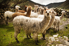Group Of Alpaca In The Mountains, Chaullacocha Village, Andes Mountains, Peru, South America