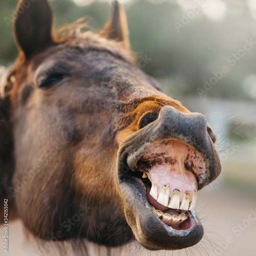 The face of a neighing horse close-up. Fototapet