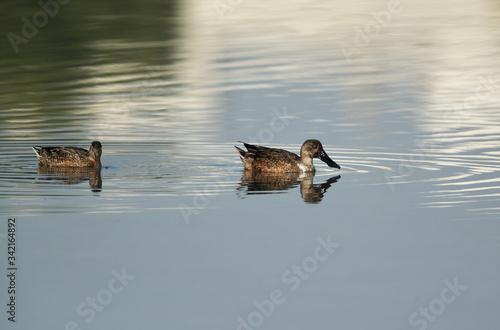 Photo A pair of Northern Shoveler