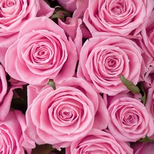A Bed Of Pale Pink Roses  For ...