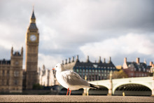 Seagull Perching On Retaining Wall Against Big Ben
