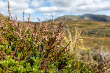 Norway Bright Autumn Small Wild Red Flowers And Green Grass Macro Close-up With Blurred Mountains Natural Background