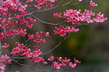 Pink Dogwood Blooming In The F...