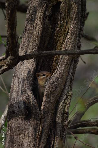 Canvas Print Chipmunk in a tree