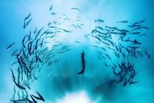 Silhouette Person Scuba Diving Amidst School Of Fish Undersea