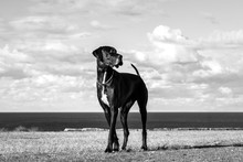 Black And White Photo Of A Great Dane Dog By The Sea