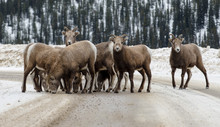 Flock Of Bighorn Sheep On Road During Winter