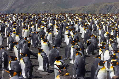 Obraz king penguin colony - fototapety do salonu