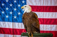 Bald Eagle Upstate New York Adirondacks Winter Raptor Fest