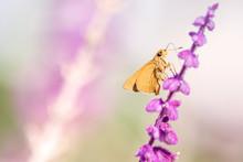 Orange Skipper On Purple Flower