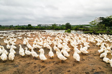 Many Ducks In Outdoor Farms
