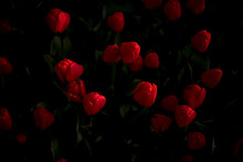 Close-up Of Red Poppy Flowers At Night