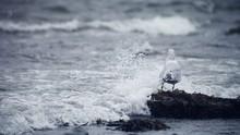 Seagull In Splashing Surf
