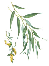 White Willow Hand Drawn Illustration Isolated On White With Clipping Path