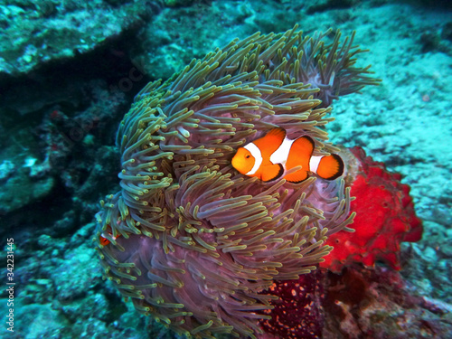 A clownfish swims in front of an anemone underwater Wallpaper Mural