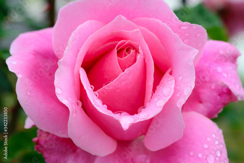 pink rose close up with raindrops
