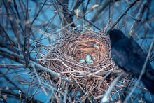 Crow Nest And The Eggs