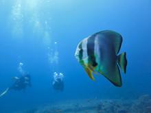 Bat Fish And Scuba Divers