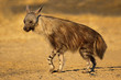 canvas print picture An alert brown hyena (Hyaena brunnea), Kalahari desert, South Africa.