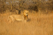 canvas print picture - Big male African lion (Panthera leo) in natural habitat, Kruger National Park, South Africa.