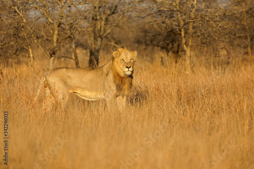 Big male African lion (Panthera leo) in natural habitat, Kruger National Park, South Africa Canvas Print