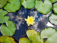 High Angle View Of Lily Pads And Lotus In Pond