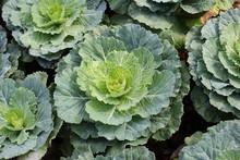 Ornamental Cabbage Or Purple In Garden, Vegetable